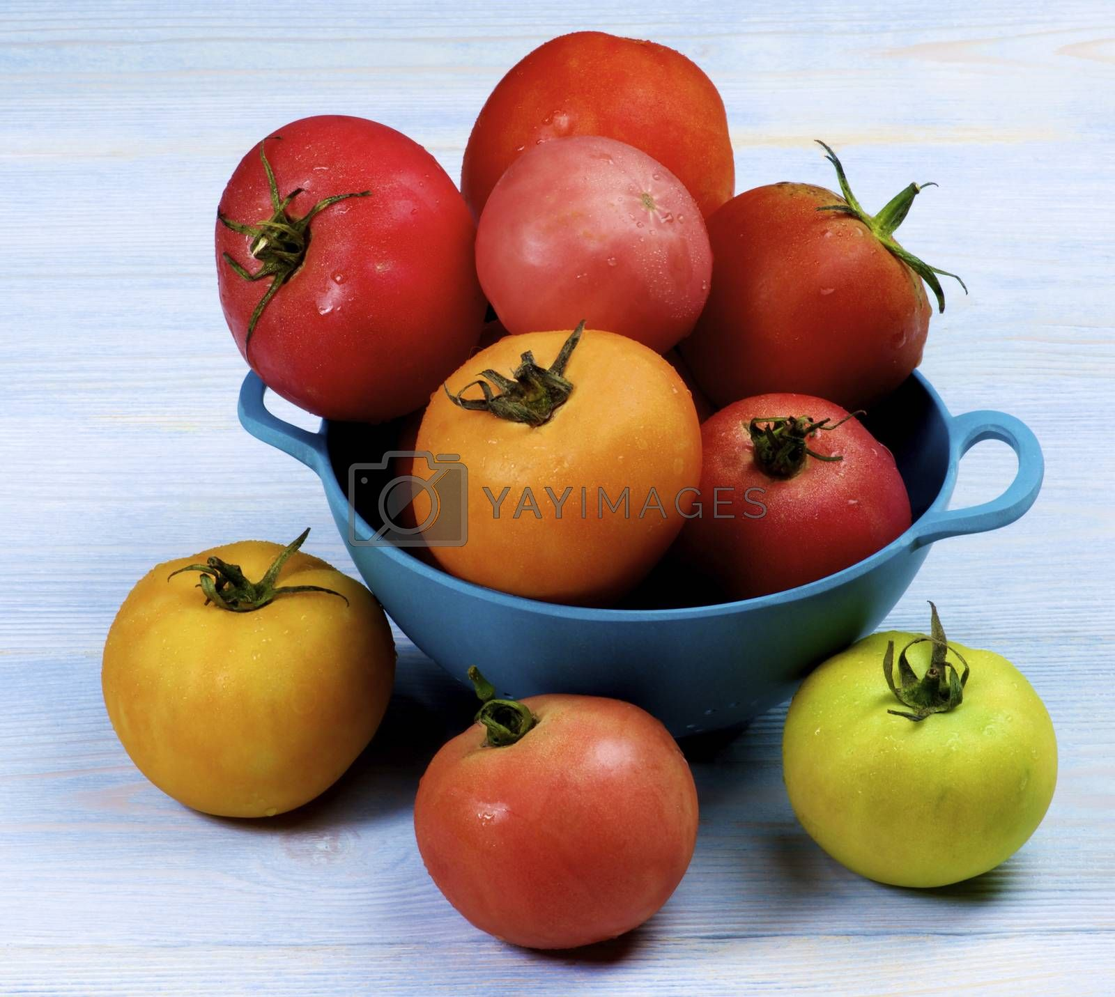 Colorful Fresh Tomatoes with Water Drops in Blue Colander closeup on Wooden background