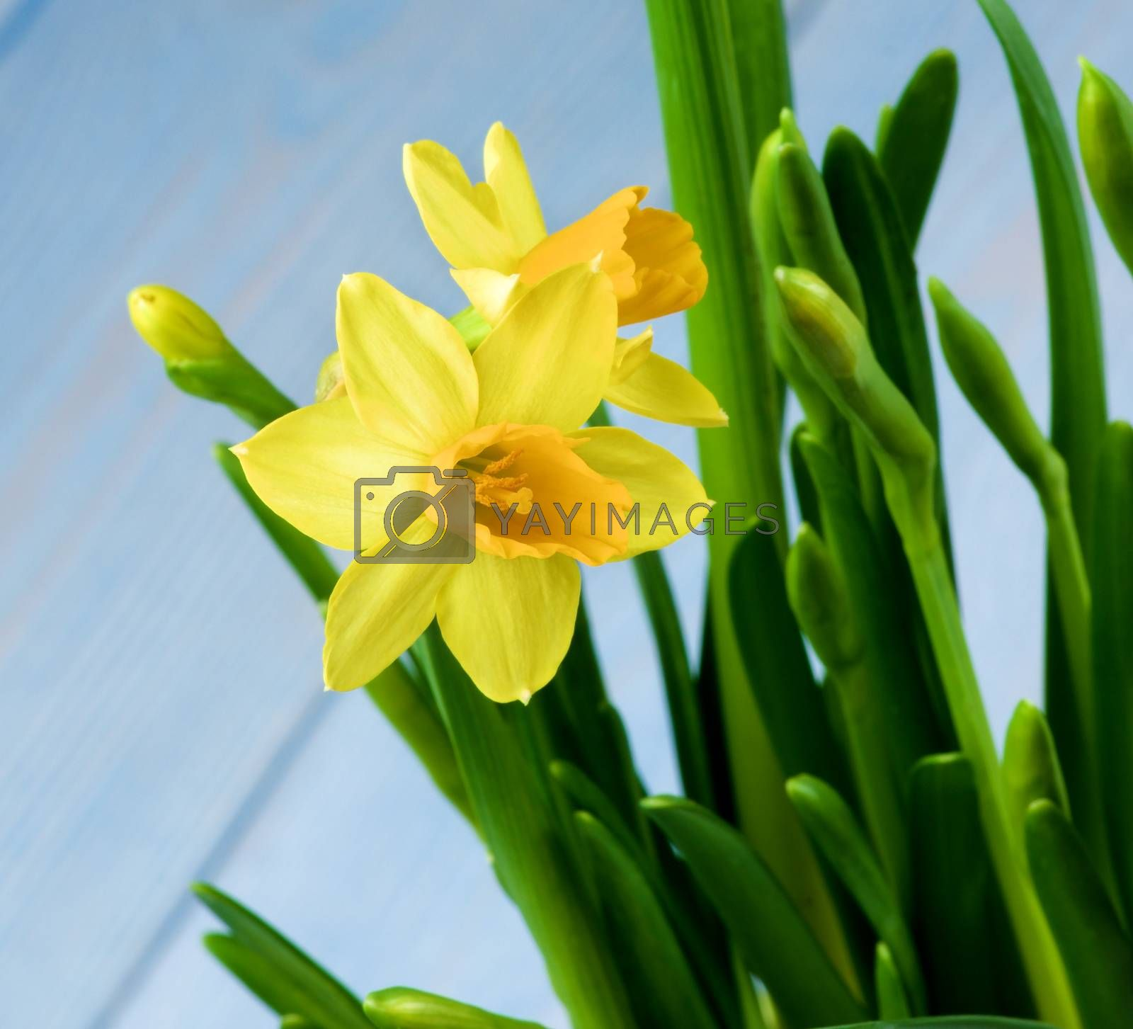Two Wild Yellow Daffodils and Buds closeup on Blurred Blue background. Focus on Foreground