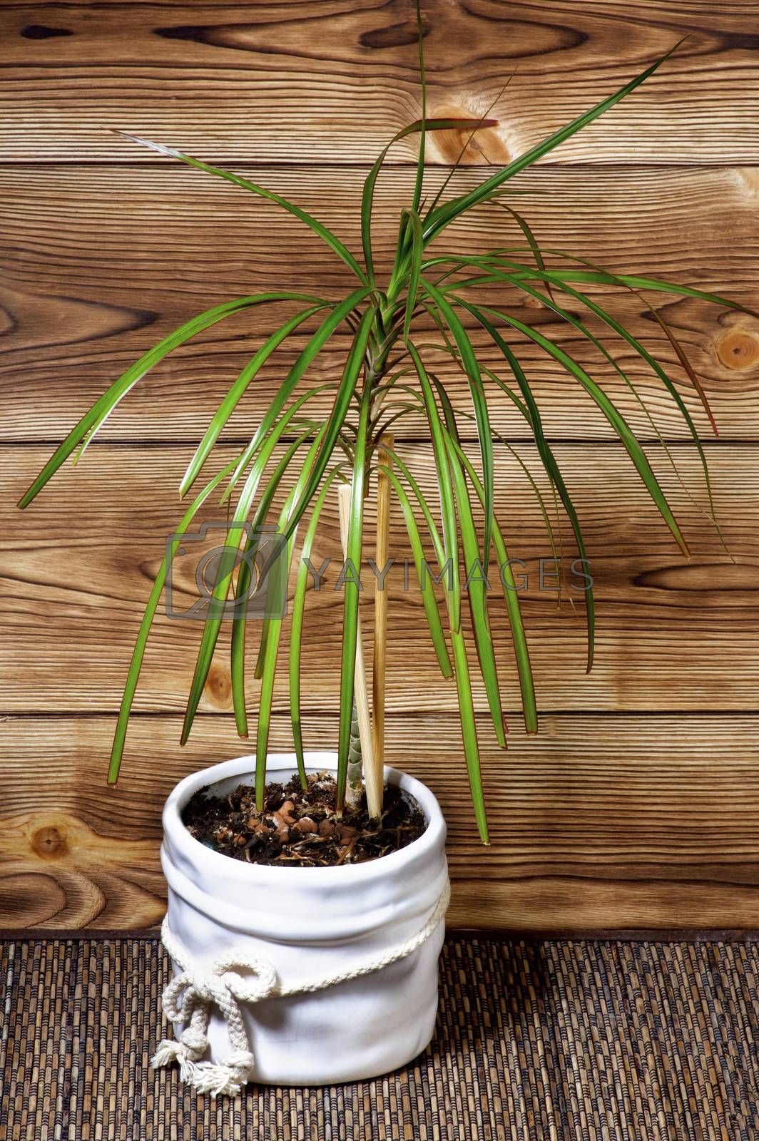 Small Dracaena in White Flower Pot against Wooden Plank closeup on Wicker background