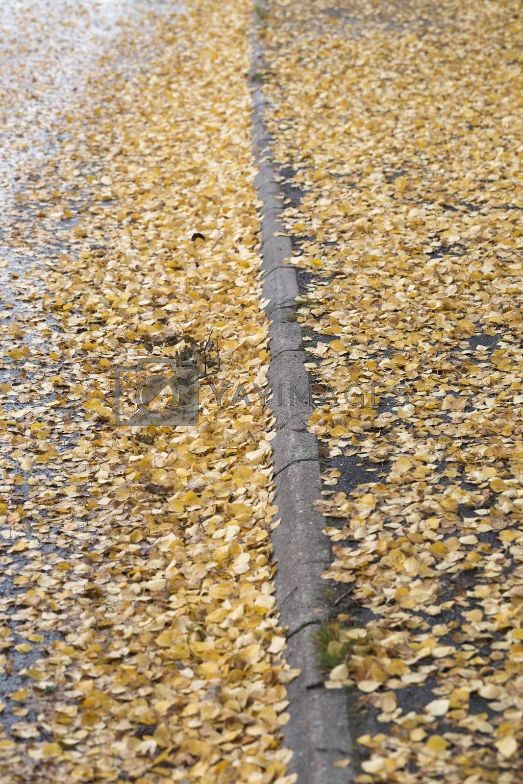 Yellow Birch Leaves in Street in Autumn.