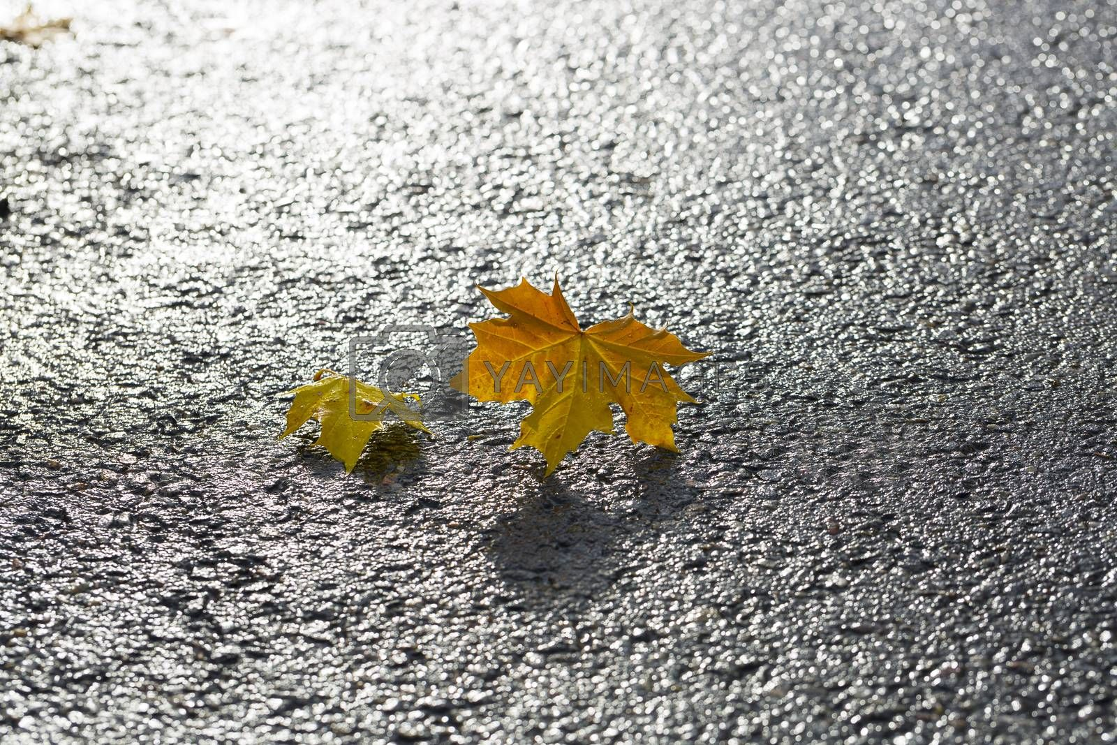 Pair of Maple Leaves on Tarmac.