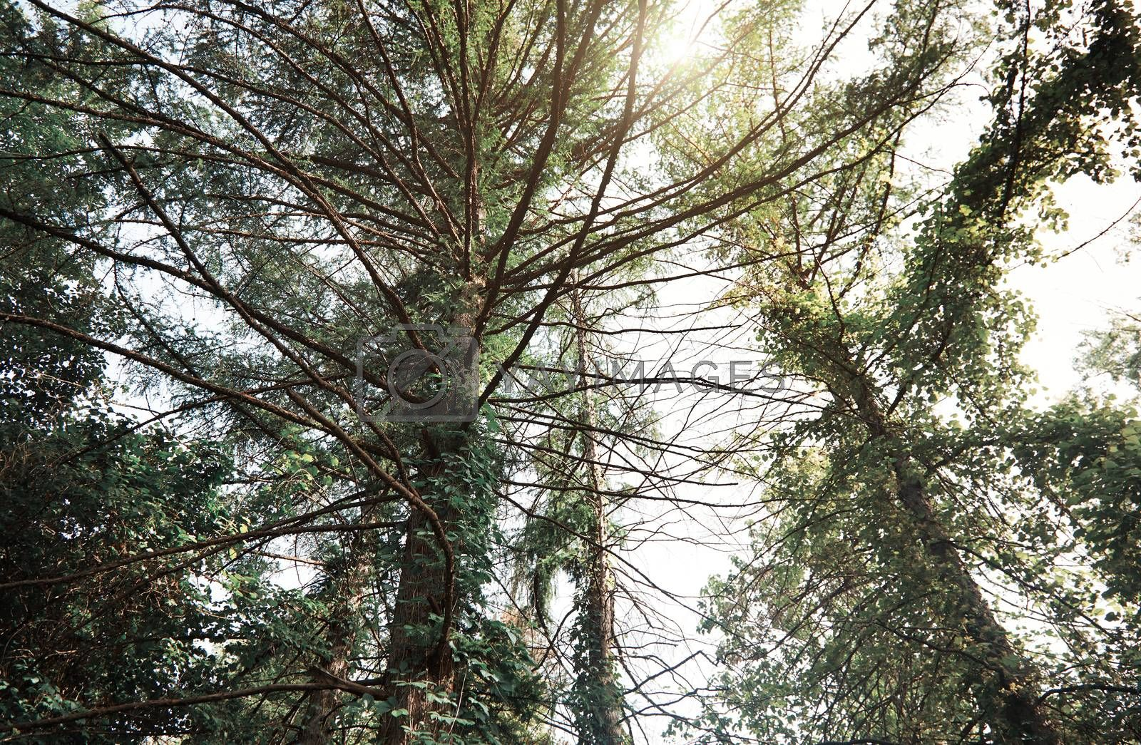 Pines in a wild forest. Horizontal photo