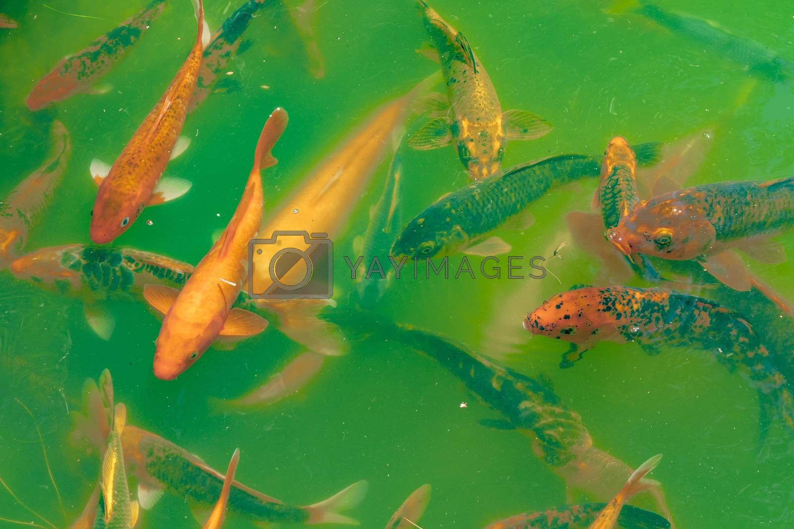 Koi Fishes at Pond by DanFLCreative
