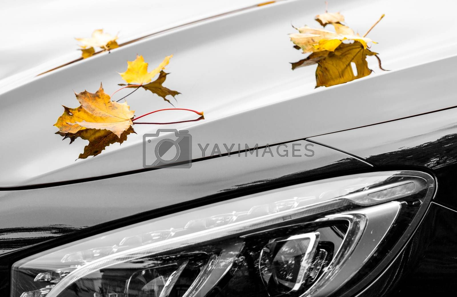 Maple leaves on luxury car at autumn by Vaidas Bucys
