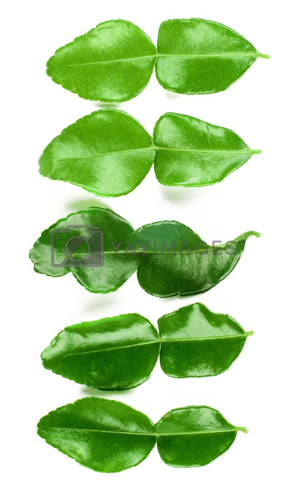 Vertical Arrangement of Five Fresh Crunchy Kaffir Lime Leafs closeup on White background