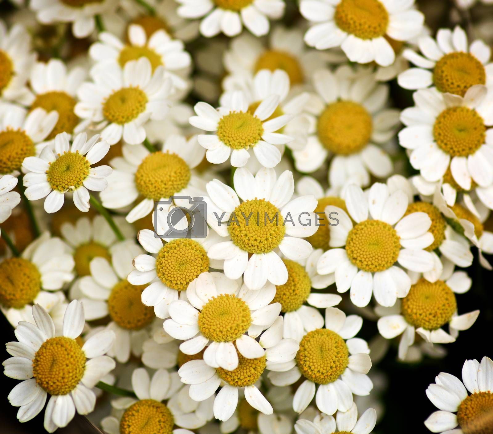 Background of  Small Camomiles by zhekos