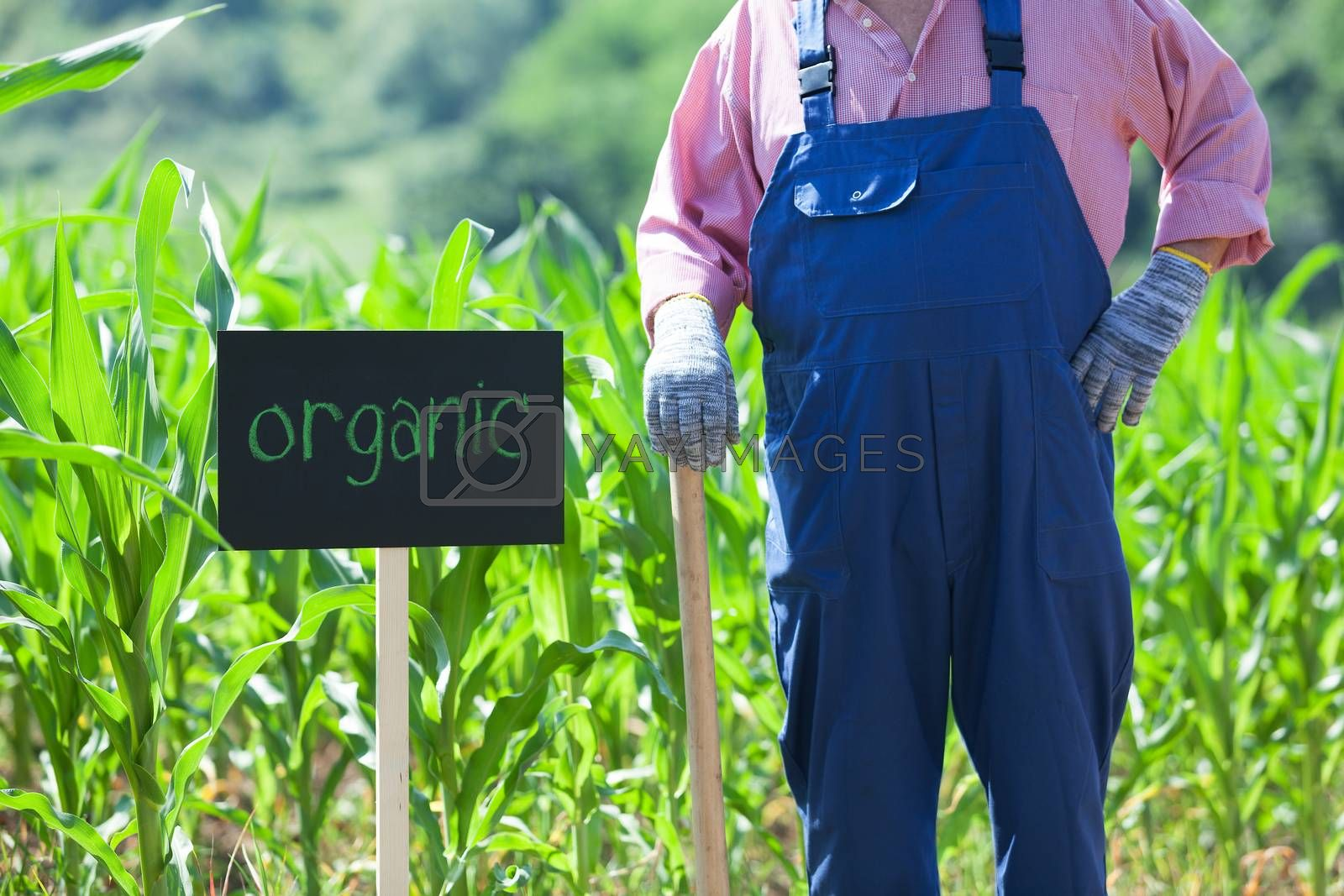 Farmer standing in front of the organic maize field