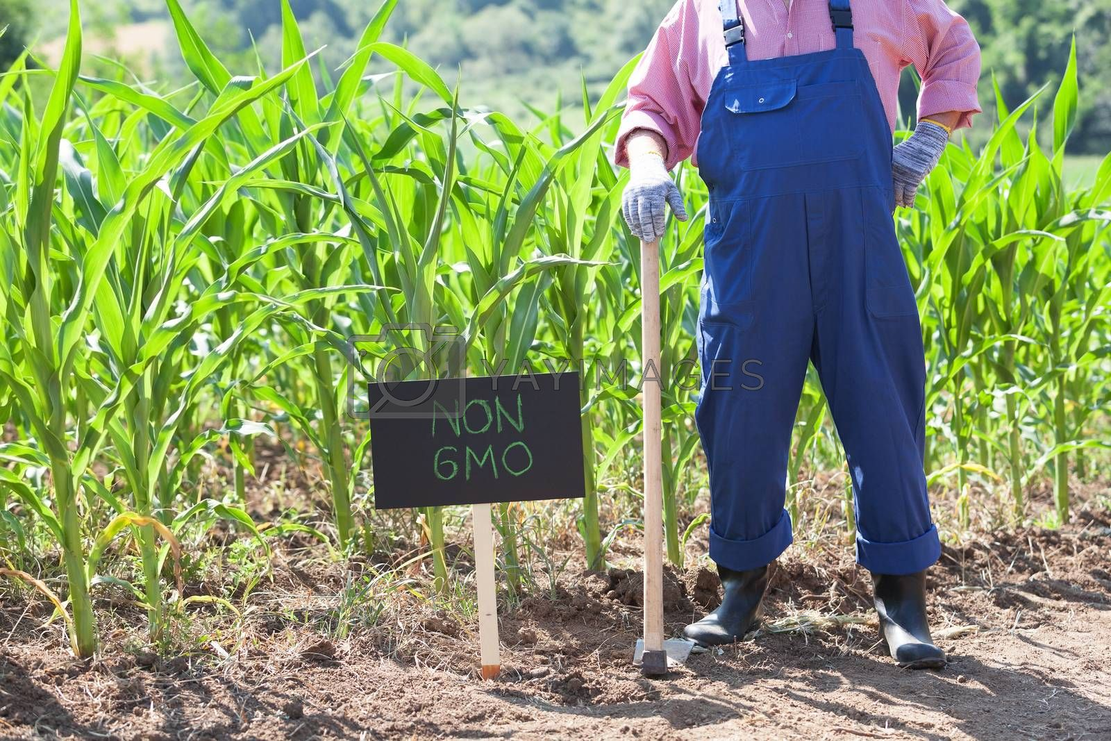 Farmer standing in front of non-GMO corn field