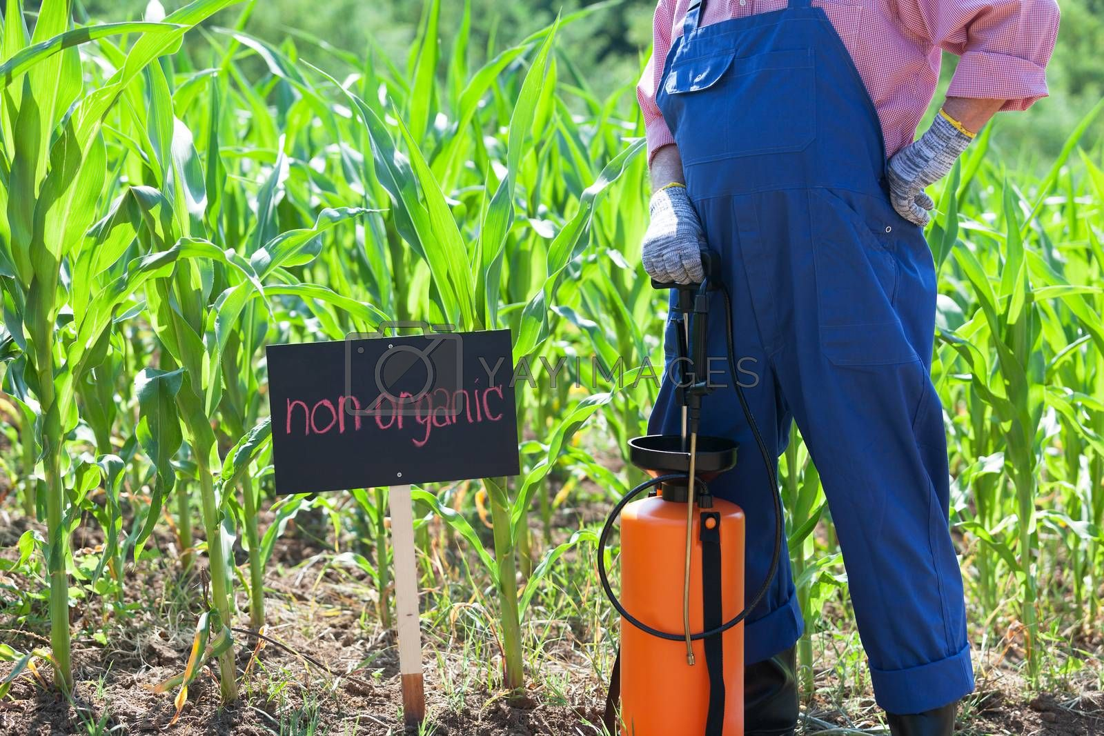 Farmer standing in front of the non-organic corn field