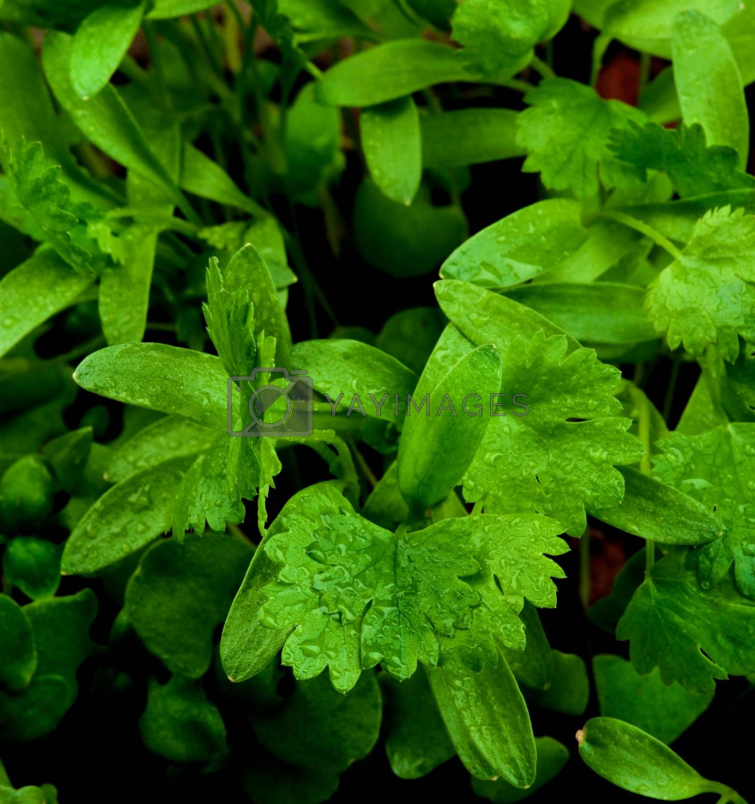Small Young Leafs of Cilantro with Water Drops closeup on Blurred Greens. Focus on Foreground