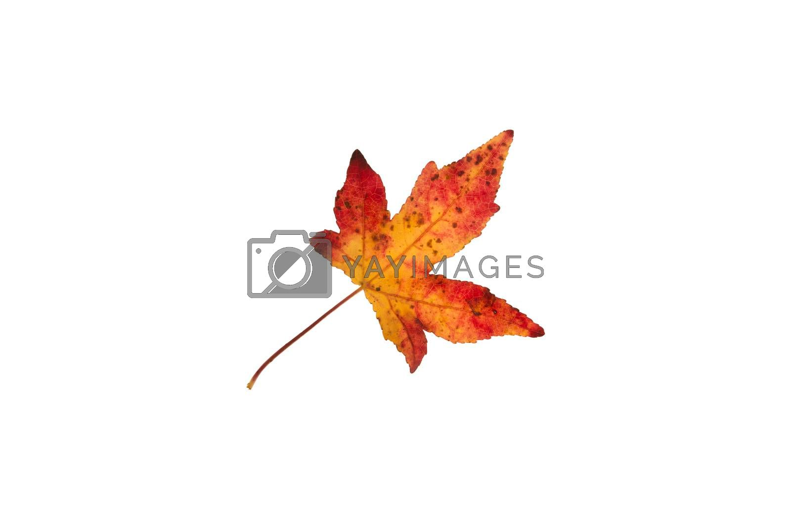 Beautifully colored single autumn leaf of a American Sweetgum Liquidambar styraciflua