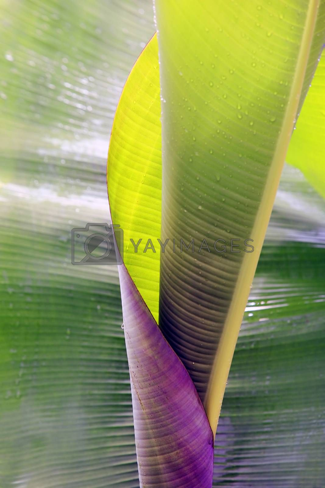 Big rolled up banana leaf with drops close-up