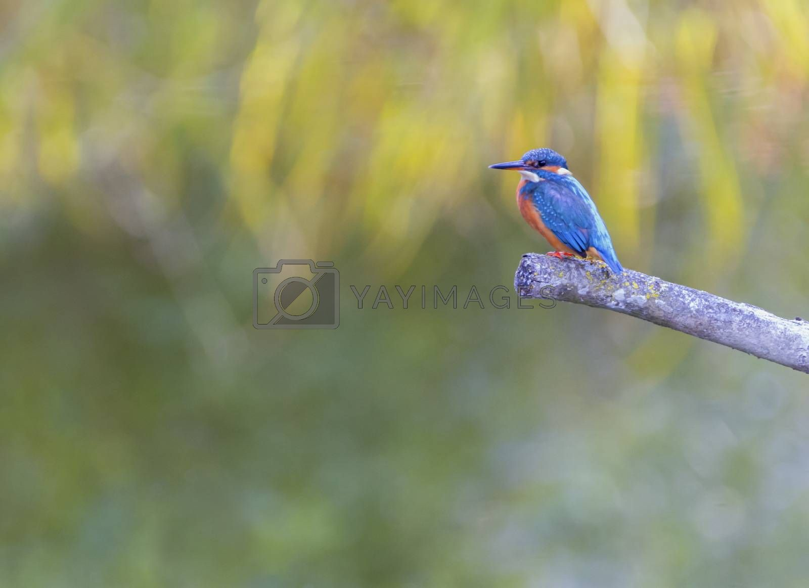 Eurasian, river or common kingfisher, alcedo atthis perched on a branch by day, Neuchatel, Switzerland