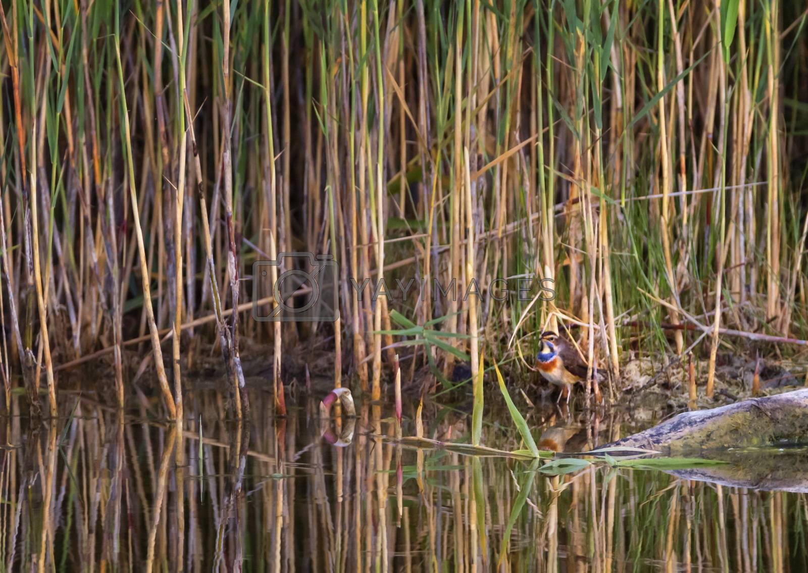 Little bluethroat, luscinia svecica, bird near a swamp, Neuchatel lake, Switzerland