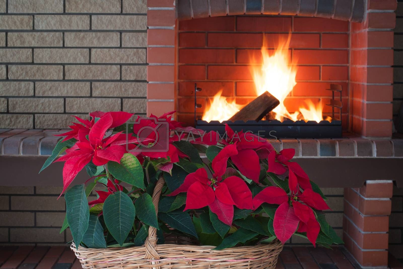 Poinsettia flowers isolated in vintage basket, fireplace, brick wall, romance. Copy space