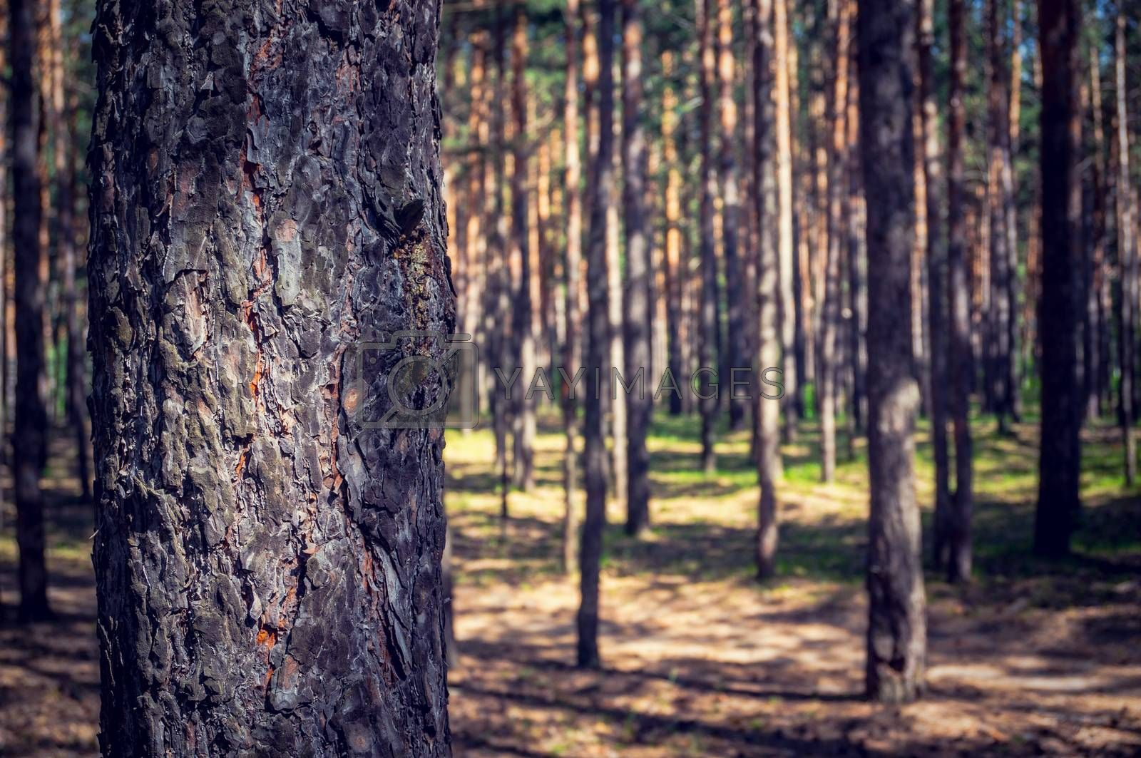 The thick pine forest from the trees. The trunk of the tall pines in the foreground on a blurred background of pine forest.