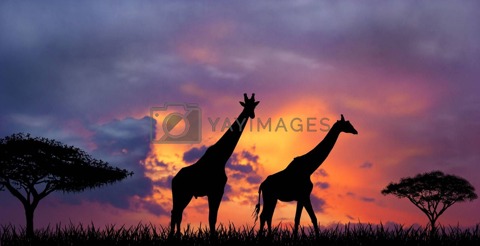Silhouettes of two giraffes against a sunset. Giraffes and evening sunset.