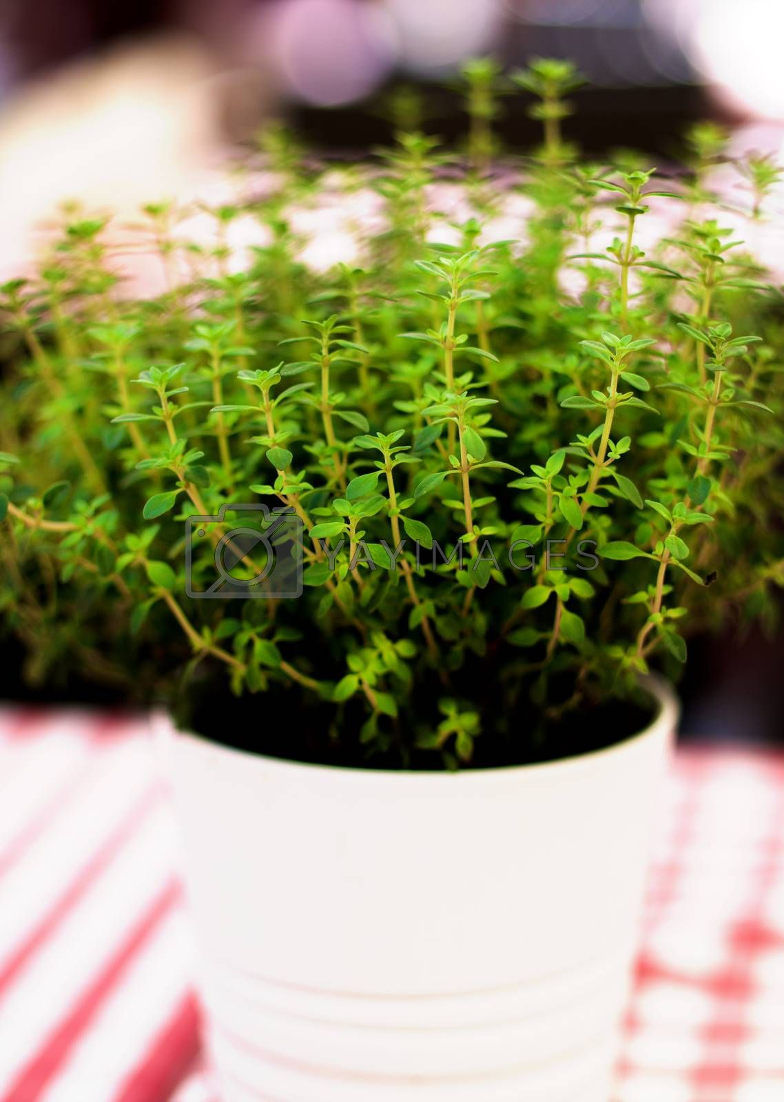 Fresh Thyme Shots in White Flower Pot closeup on Blurred background Outdoors. Focus on Foreground