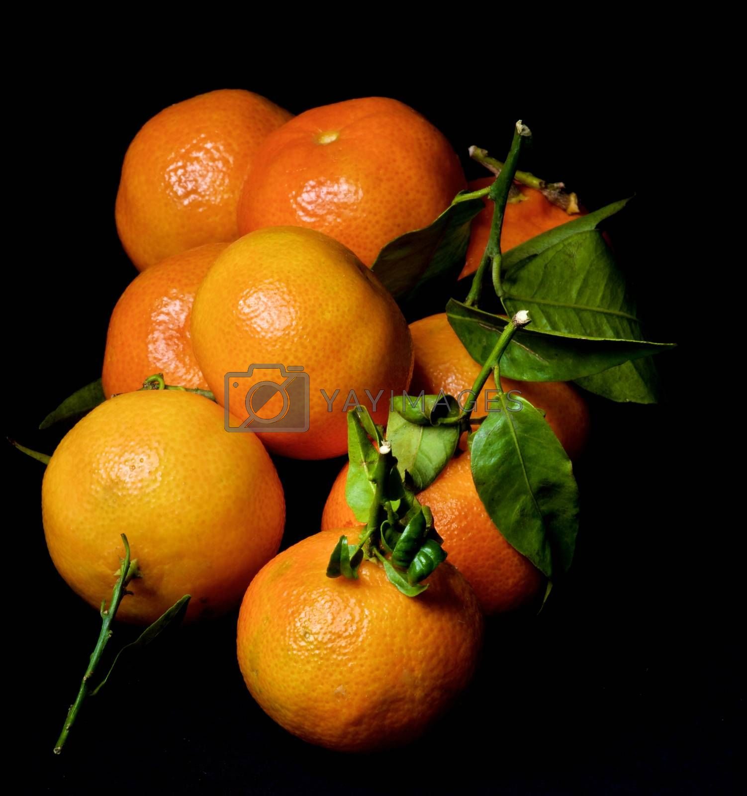 Fresh Ripe Tangerines with Leafs and Stems isolated on Black background. Focus on Foreground