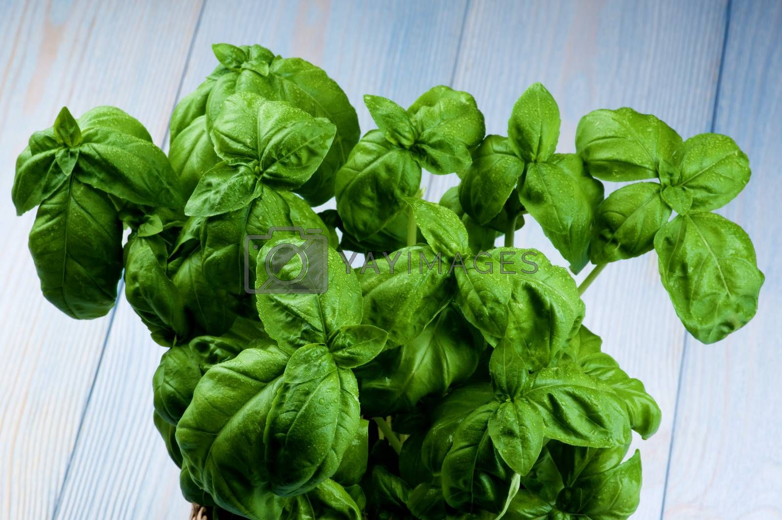 Bunch of Perfect Lush Foliage Fresh Green Basil with Water Drops closeup on Blue Wooden background