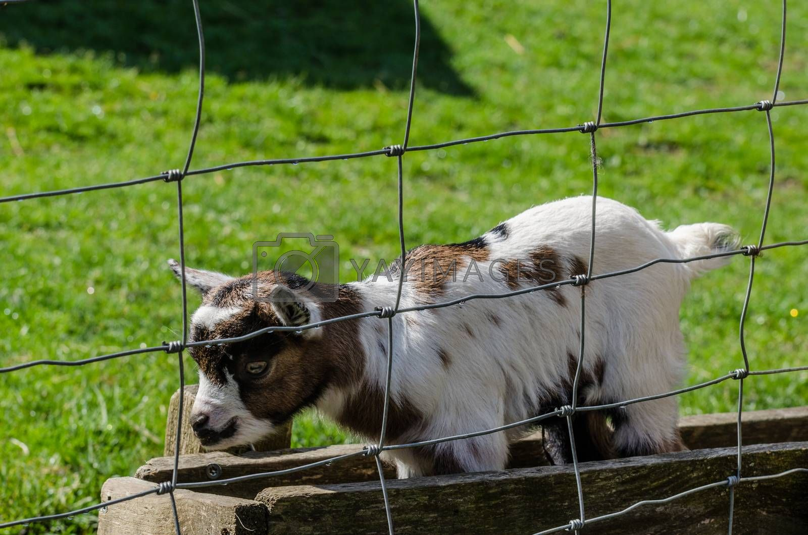 white baby goat in the zoo