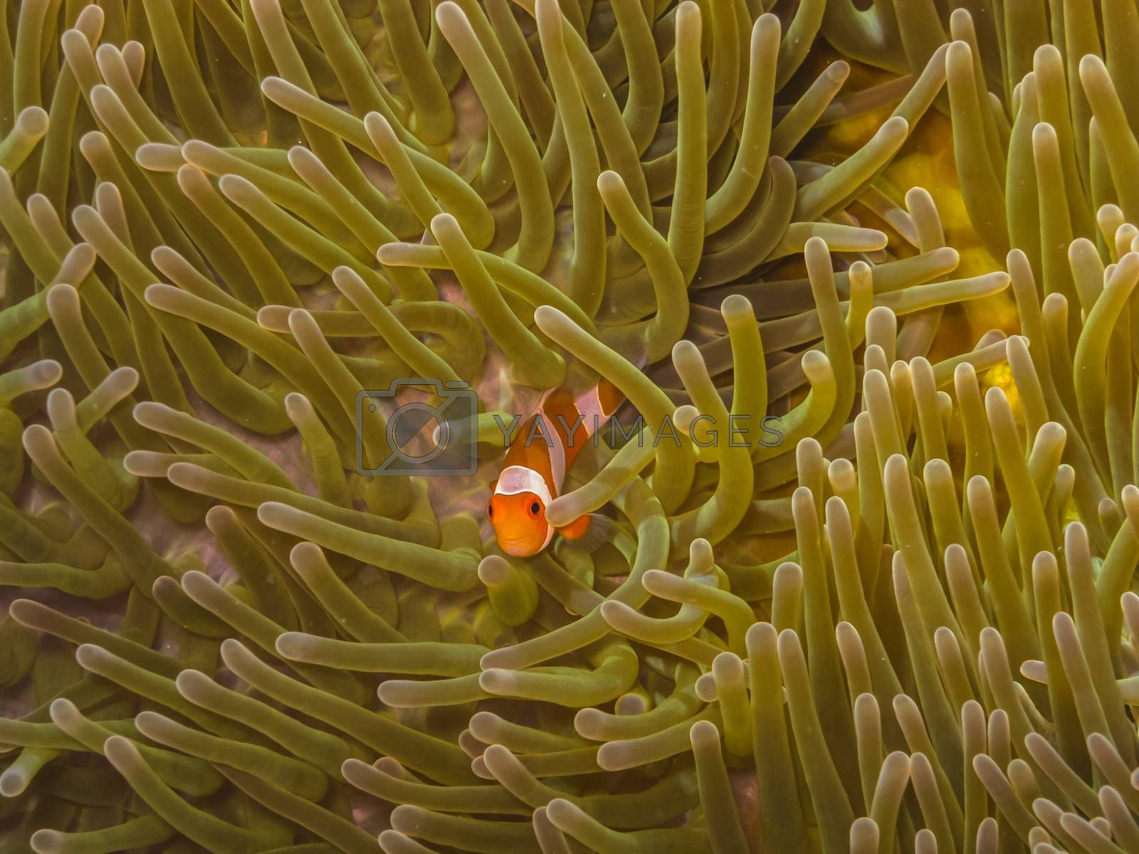 baby anemonefish in the sea