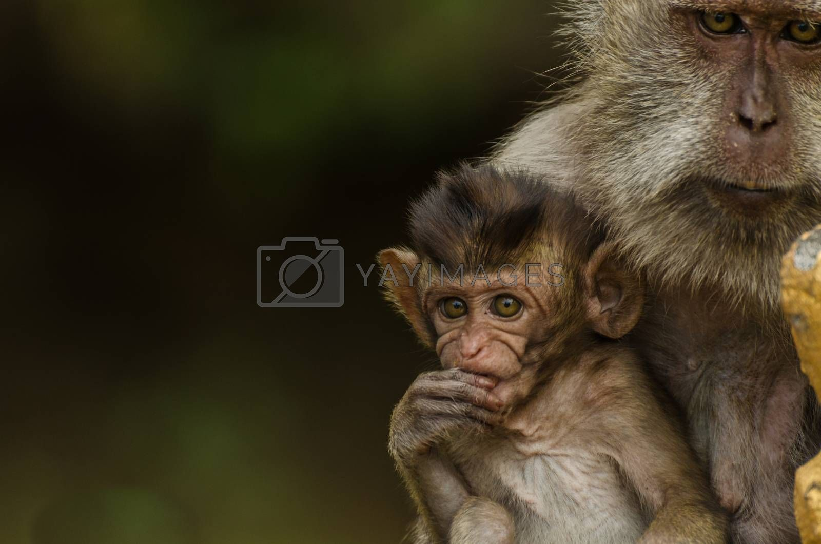 monkey with baby in a temple closeup