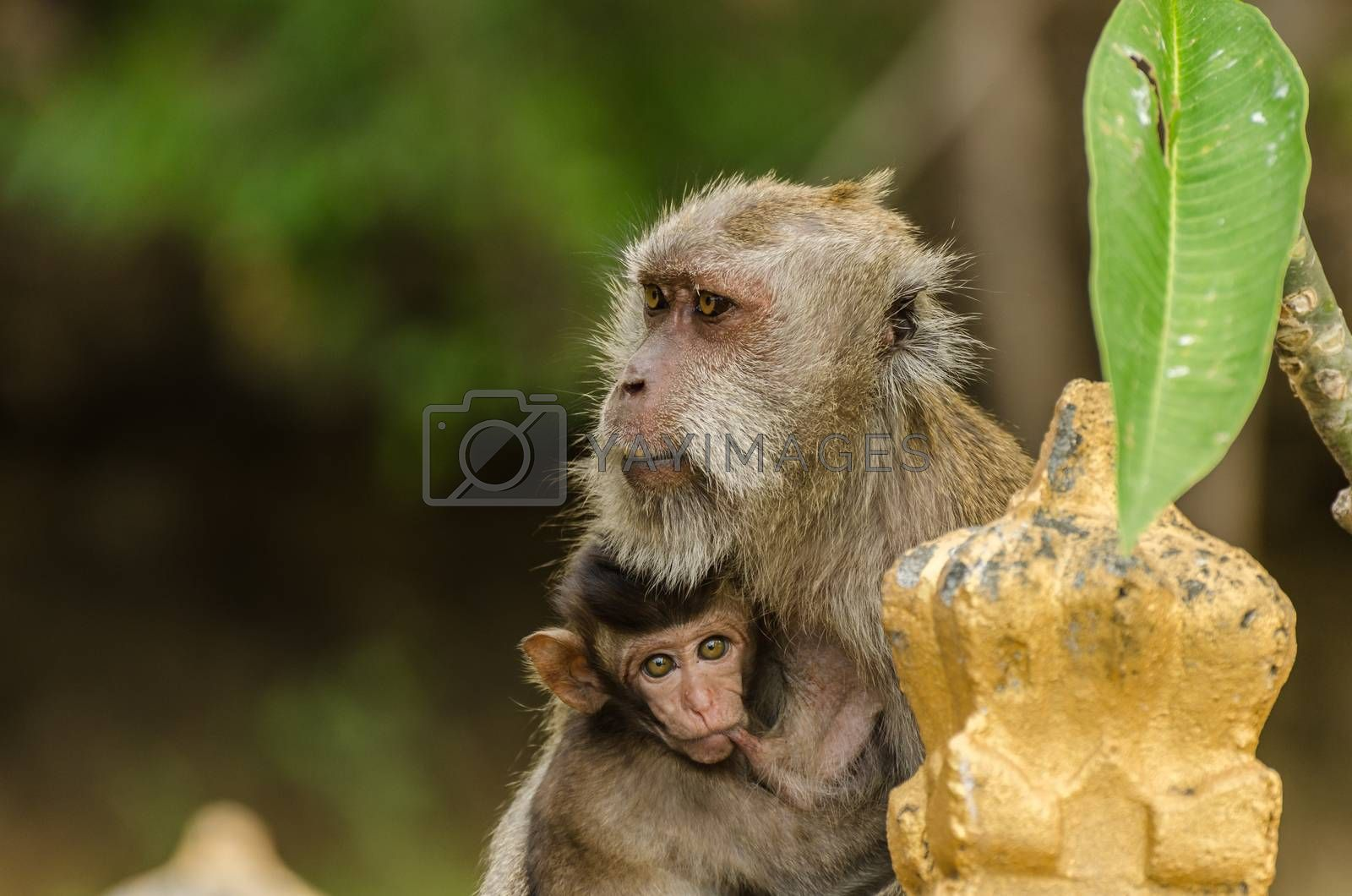monkey and baby in a temple in indonesian