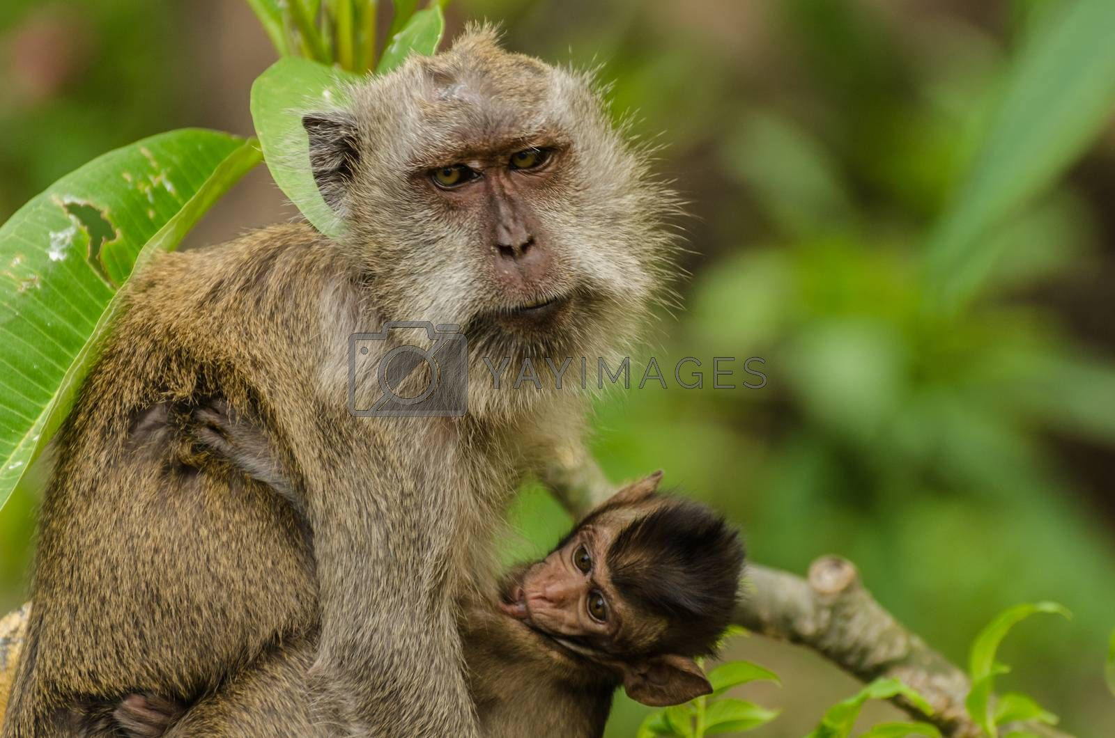 monkey macaque and baby in the jungle