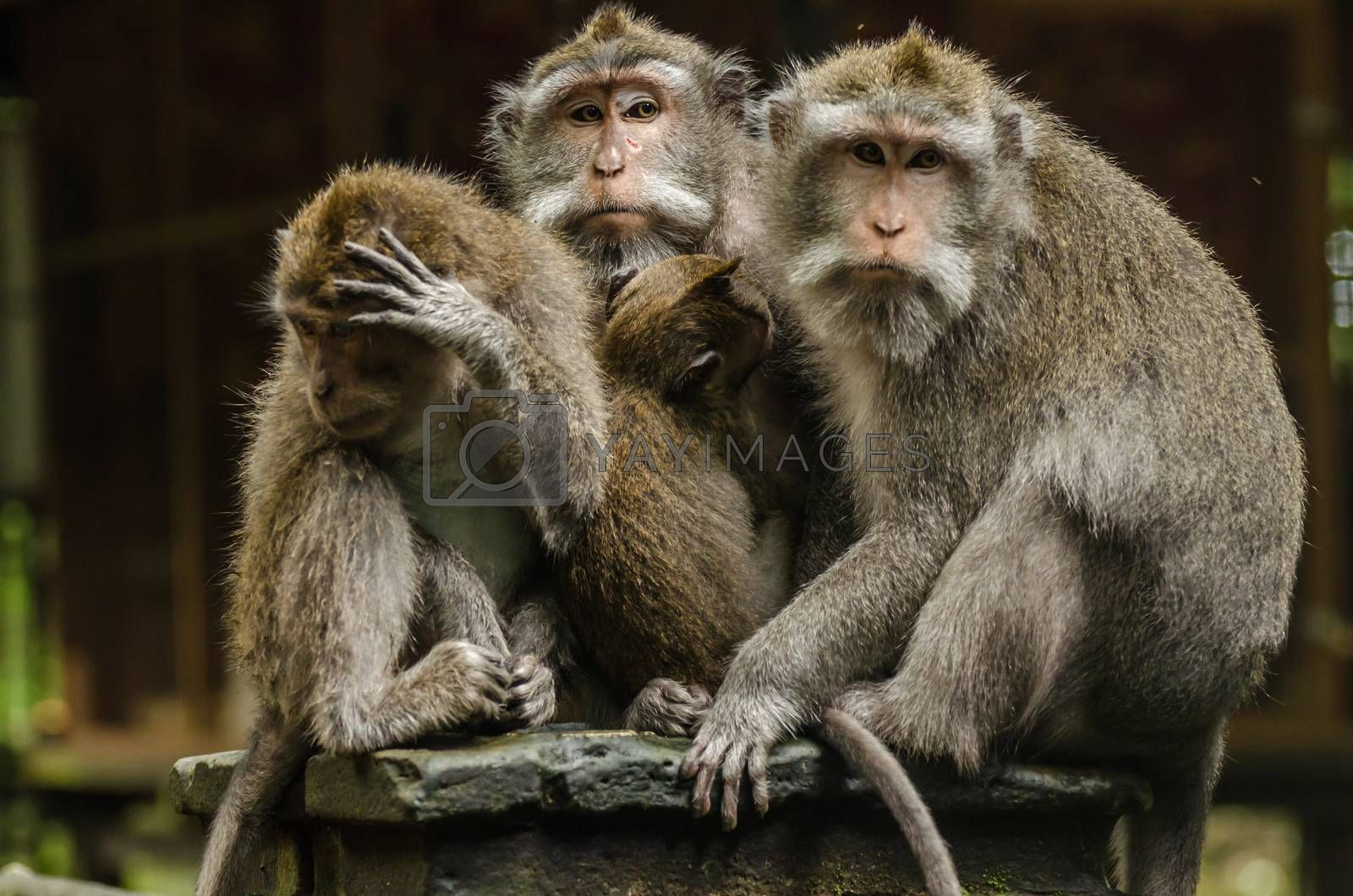 three monkeys and baby in a temple in bali indonesia