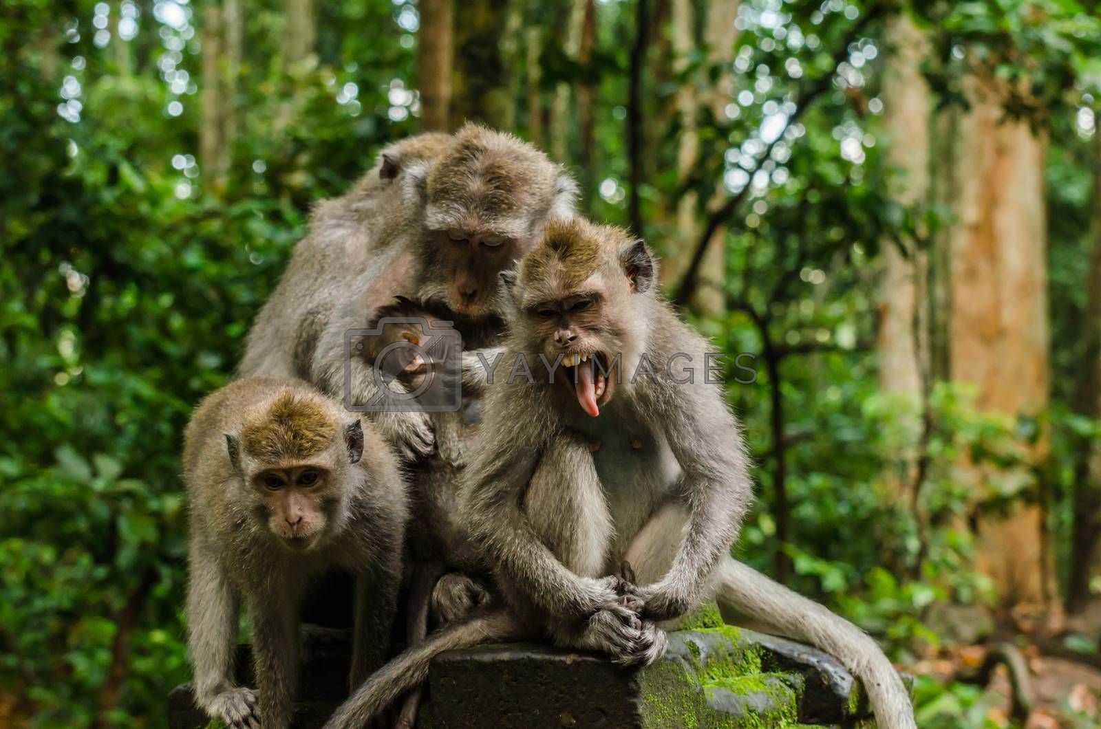 three monkeys and baby making grimaces in the temple in bali