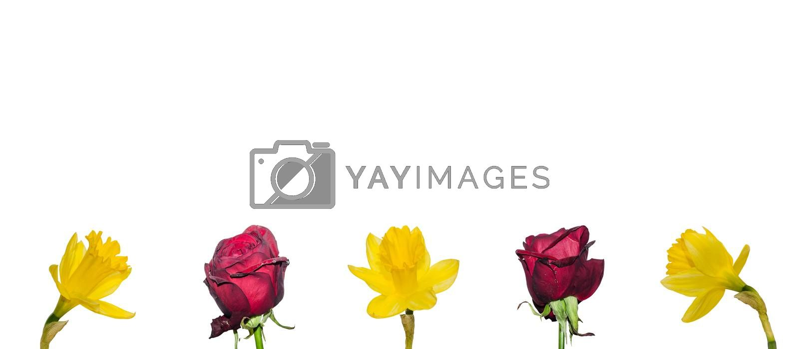 flowers below white background panorama