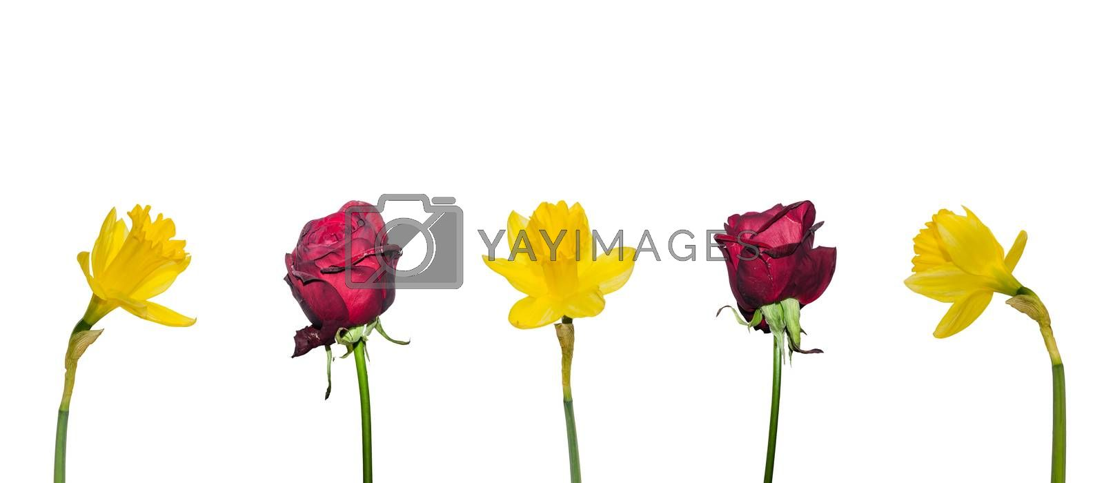 roses daffodils flower white panorama view