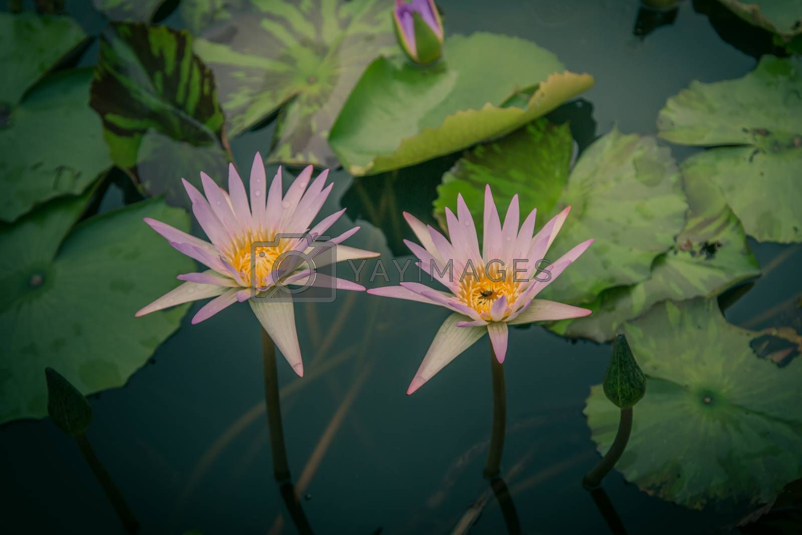 The beauty of the lotus in the pond