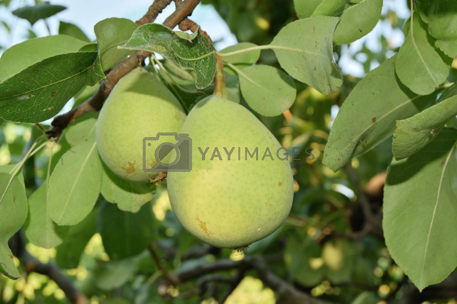 closeup of unripe pears yet on the tree