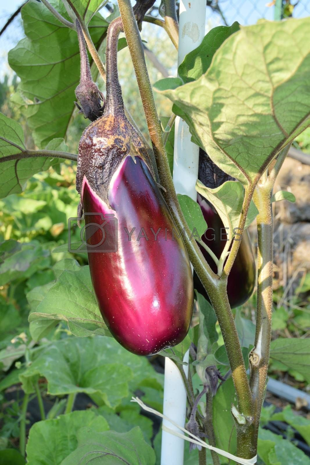 closeup of unripe eggplant yet on the plant