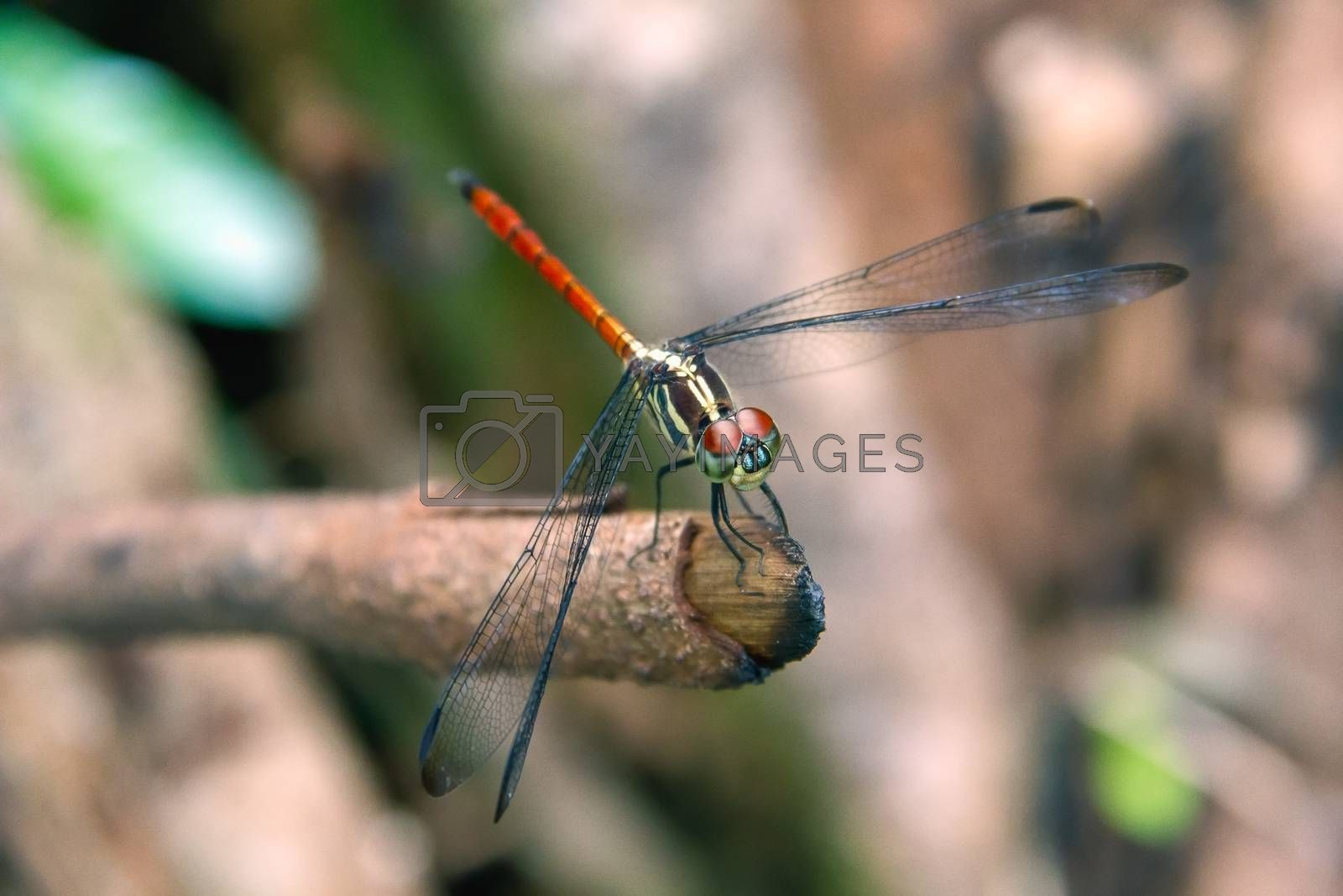 Closeup Dragonfly Island on a branch by STZU