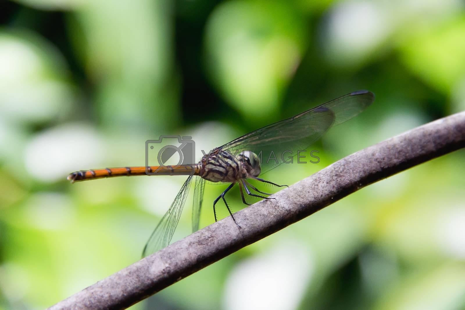 Closeup Dragonfly Island on a branch by STZU