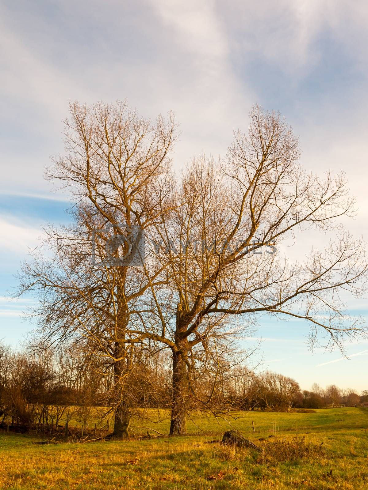 bare autumn winter tree outside landscape field sky cloudy blue  by callumrc