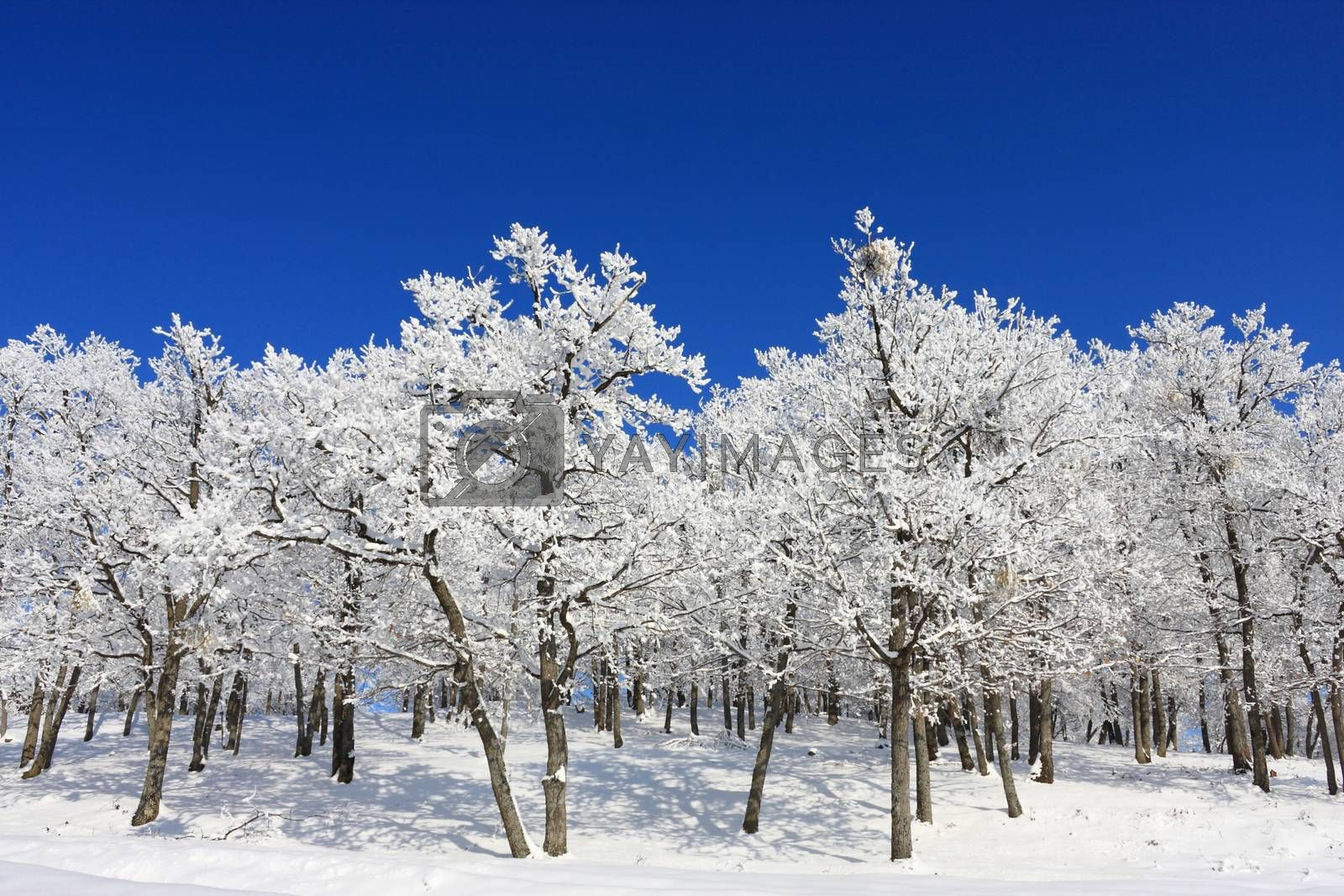 Snow Forest on Clear Blue Sky by shoricelu
