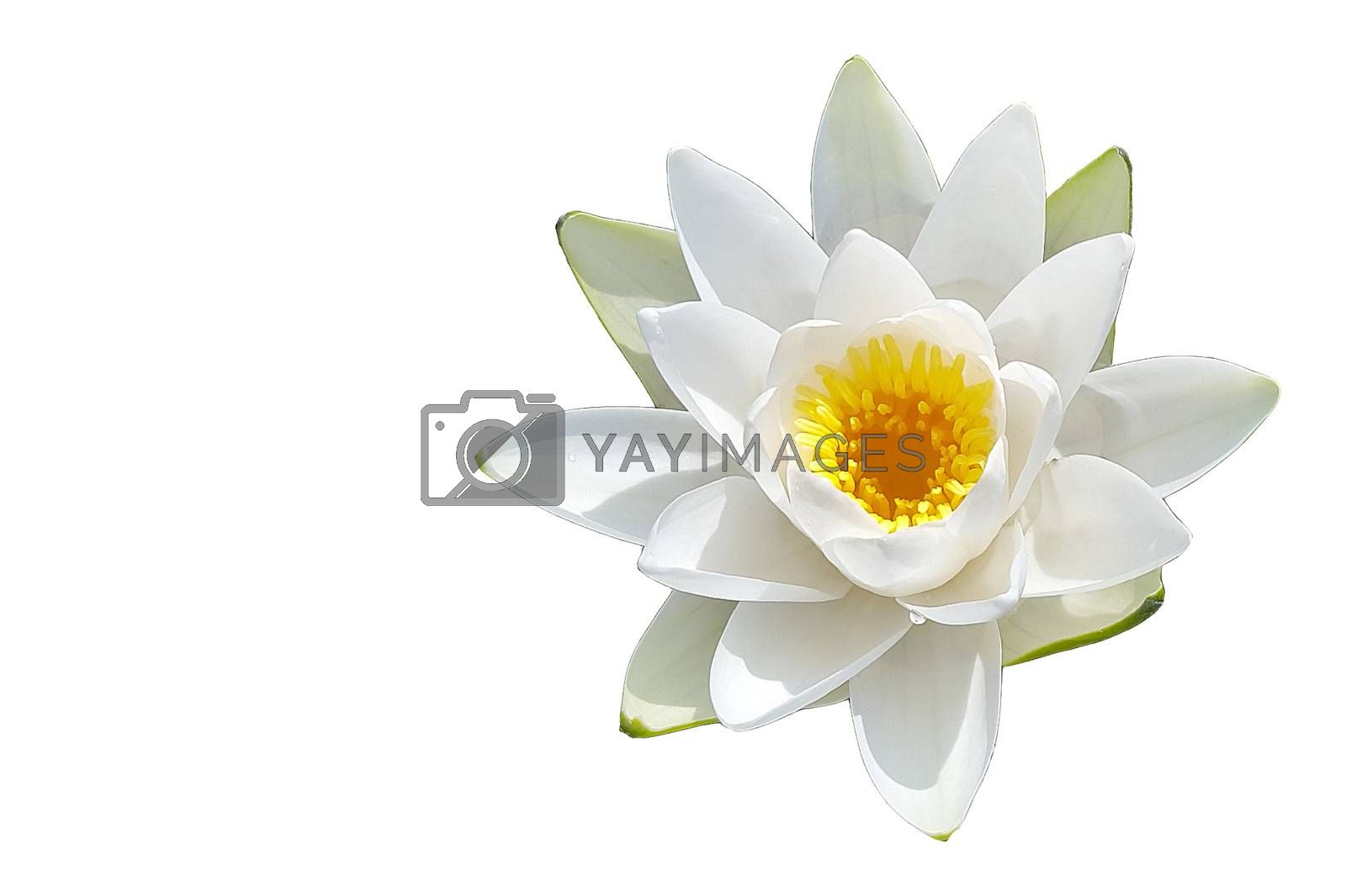 Isolated water lily flower by shoricelu