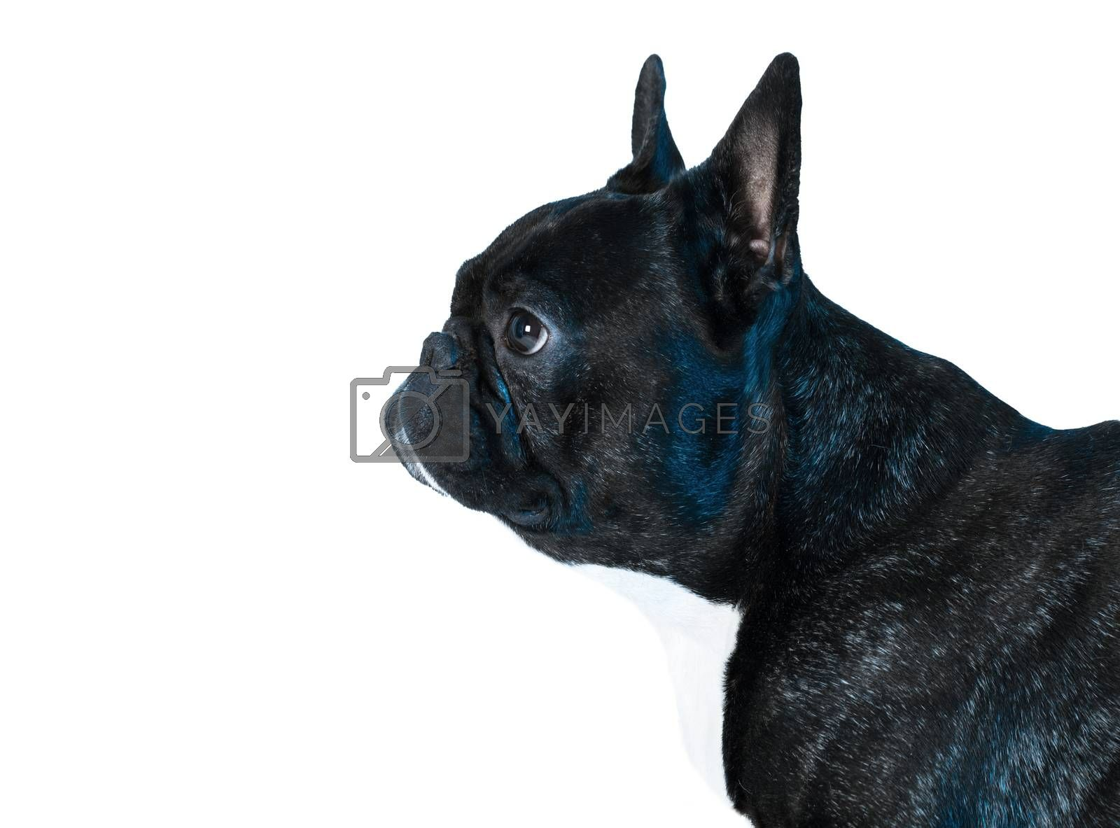 animal dog French bulldog by MegaArt
