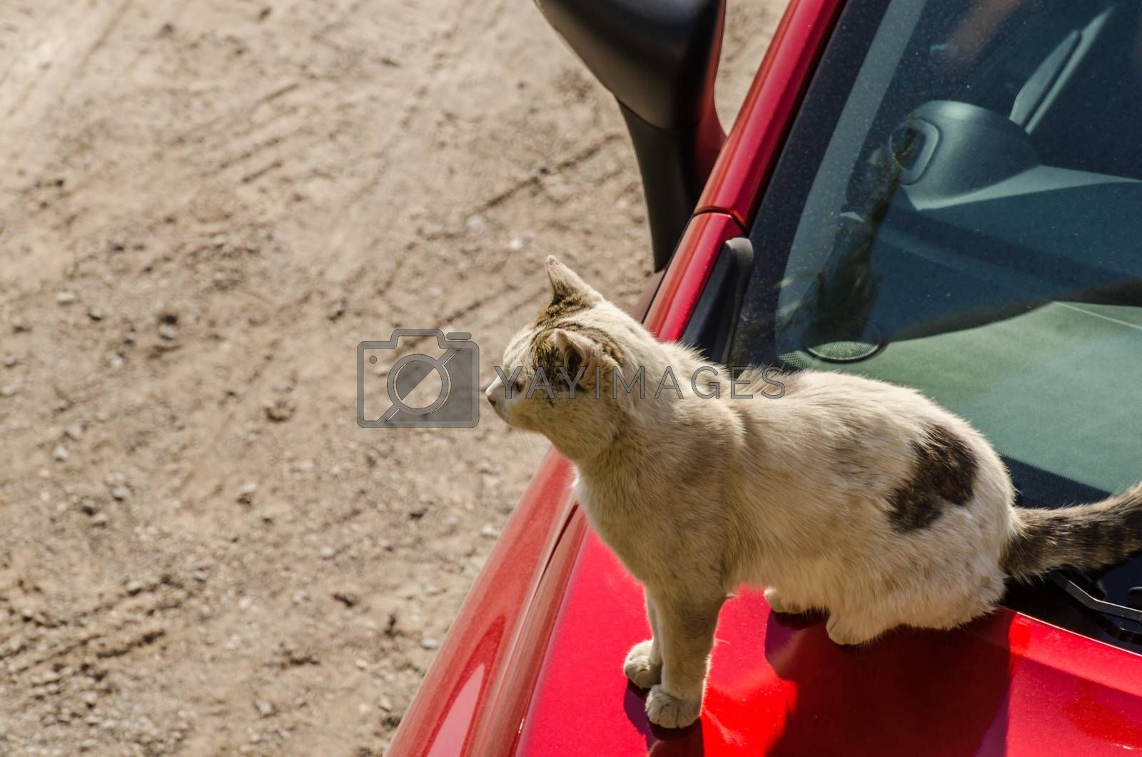 cat on a red car by thomaseder