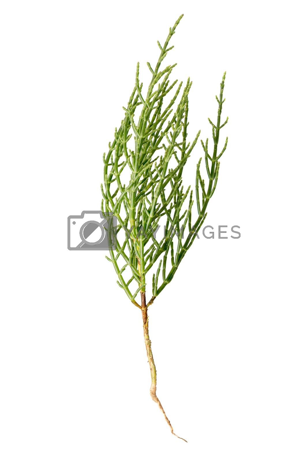 Fresh marsh samphire a coastal plant with vibrant green stalks and a crisp salty taste isolated on a white background