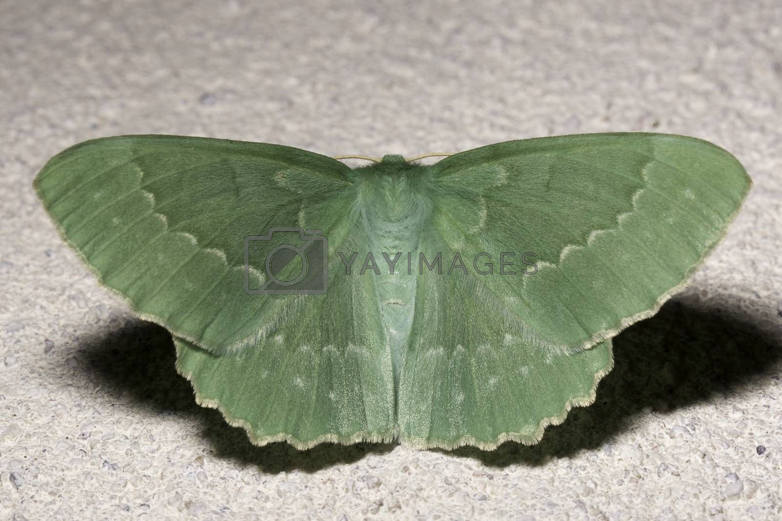 Large Emerald Moth Extremely Close Up.