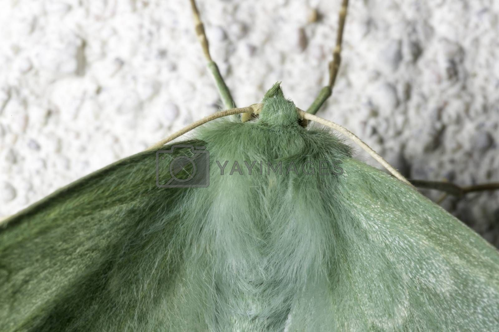 Large Emerald Moth Close Up by Emmoth