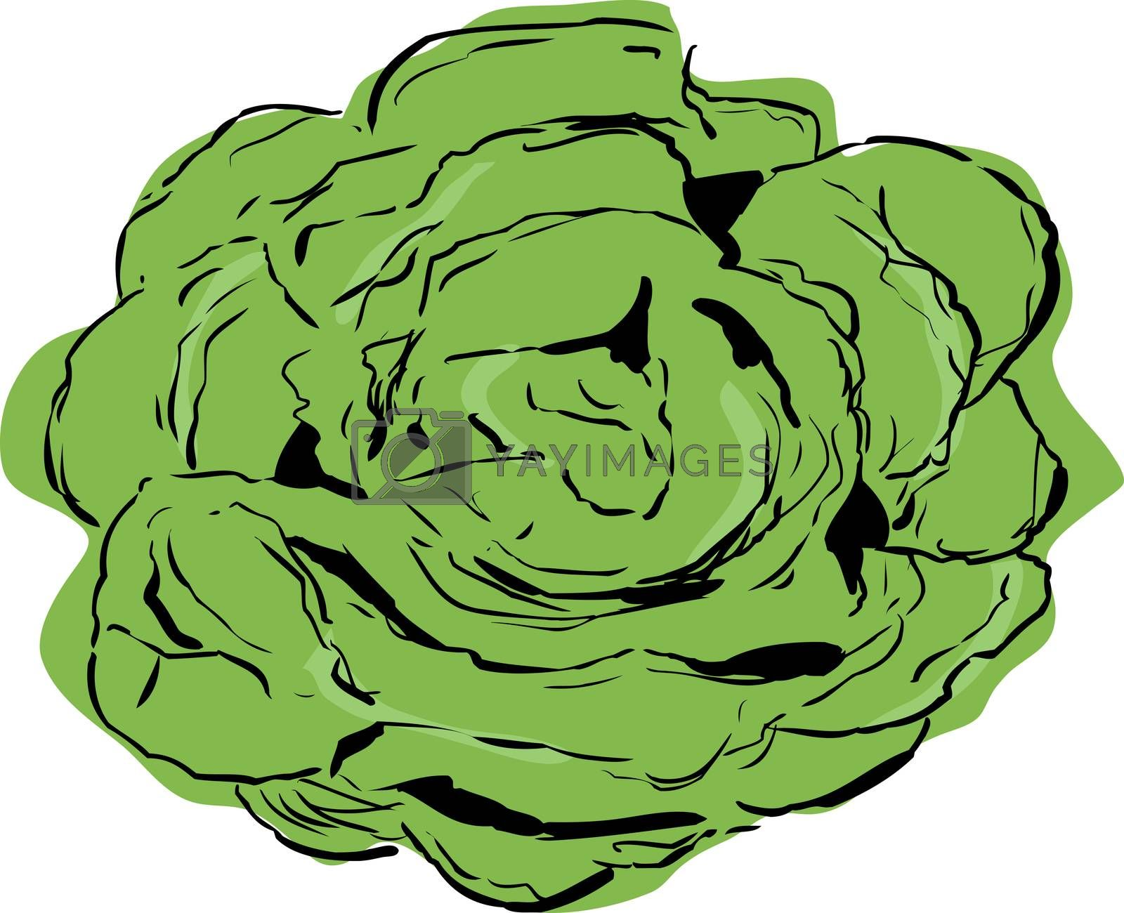 Top down view on large open head of bibb lettuce over white