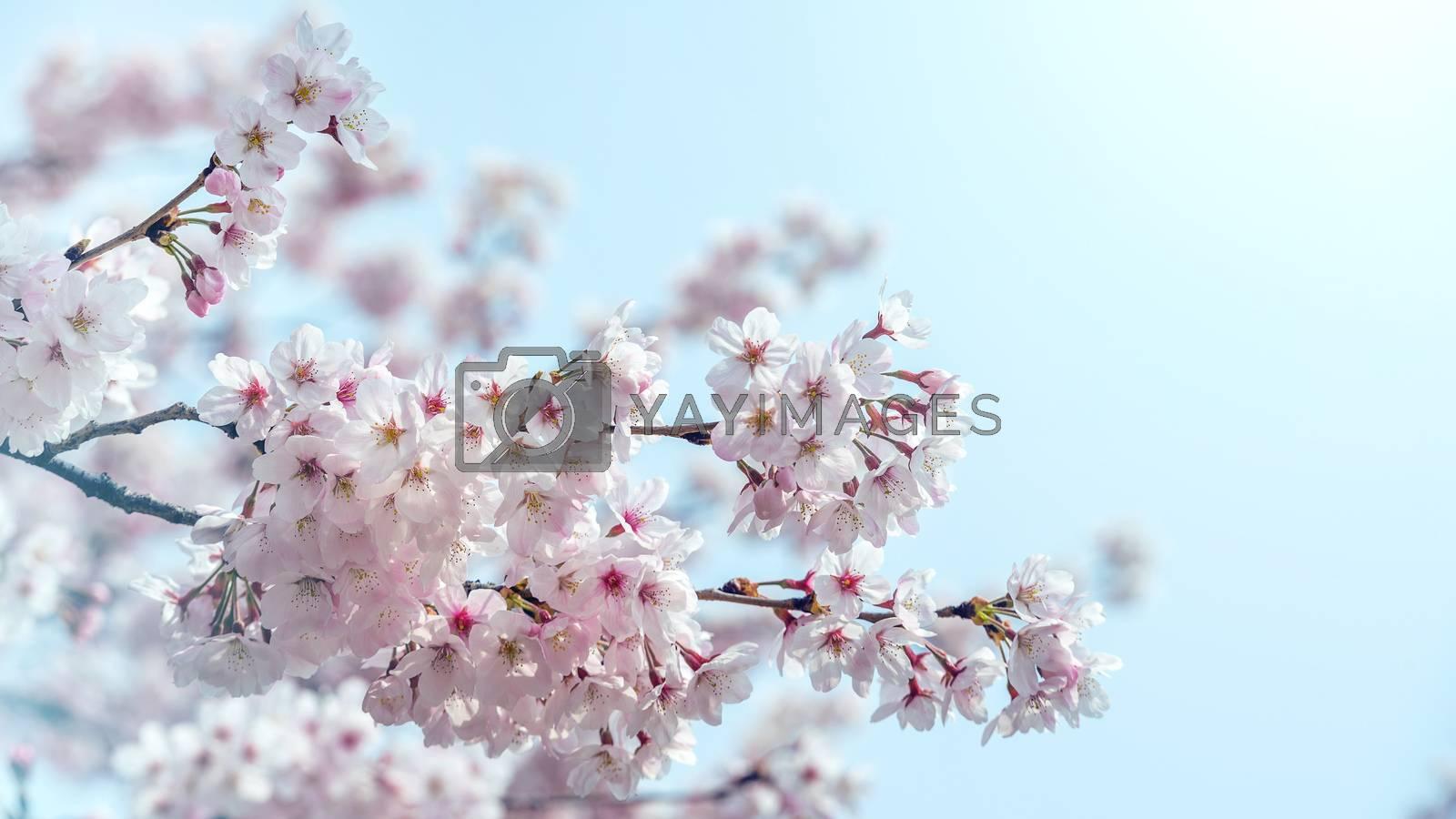 Cherry blossom in spring. spring season background, Sakura season in korea. Soft focus