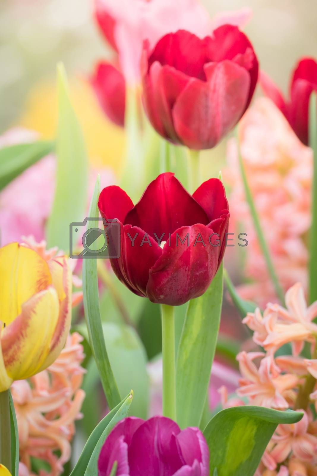 Beautiful bouquet of tulips. colorful tulips. by Teerawit Tj-rabbit