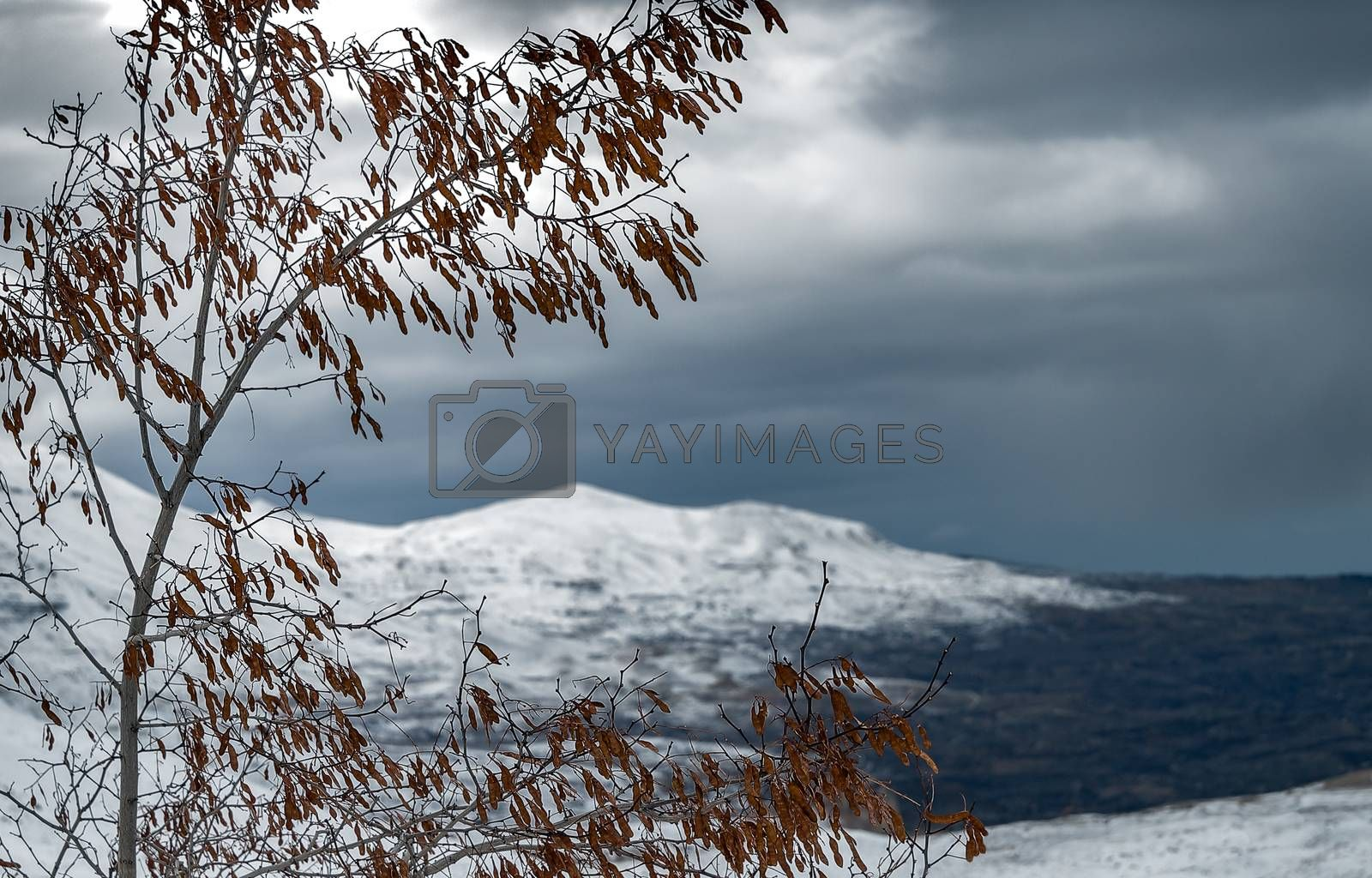 Winter landscape in overcast weather, view on the gray sky and snowy mountains through the old dry tree, cold and frosty winter, Cedars Mountains, Lebanon